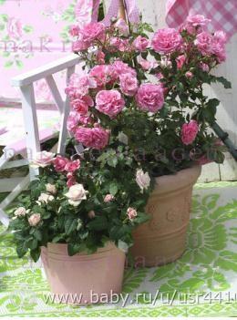 Посадить плетистую розу в горшке