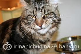 фото кота мэйкун