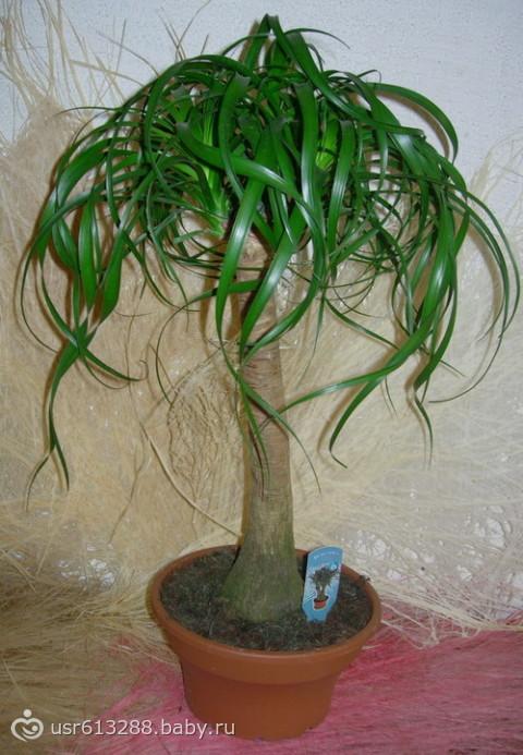 Бутылочное дерево-нолина