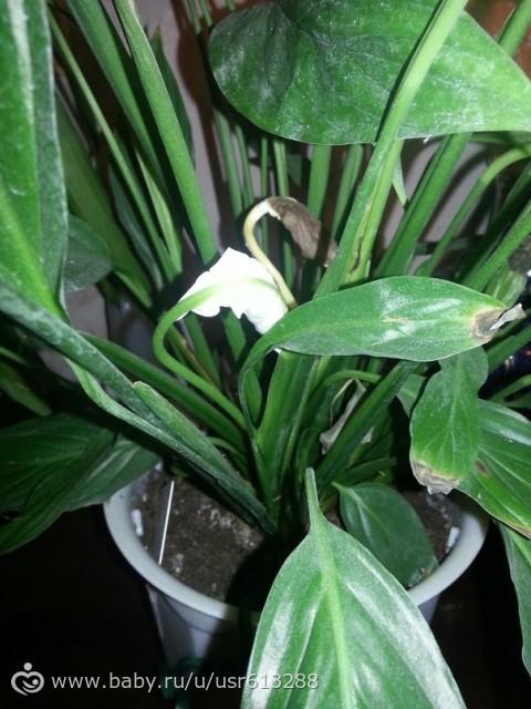 Цветок спатифиллум почернел